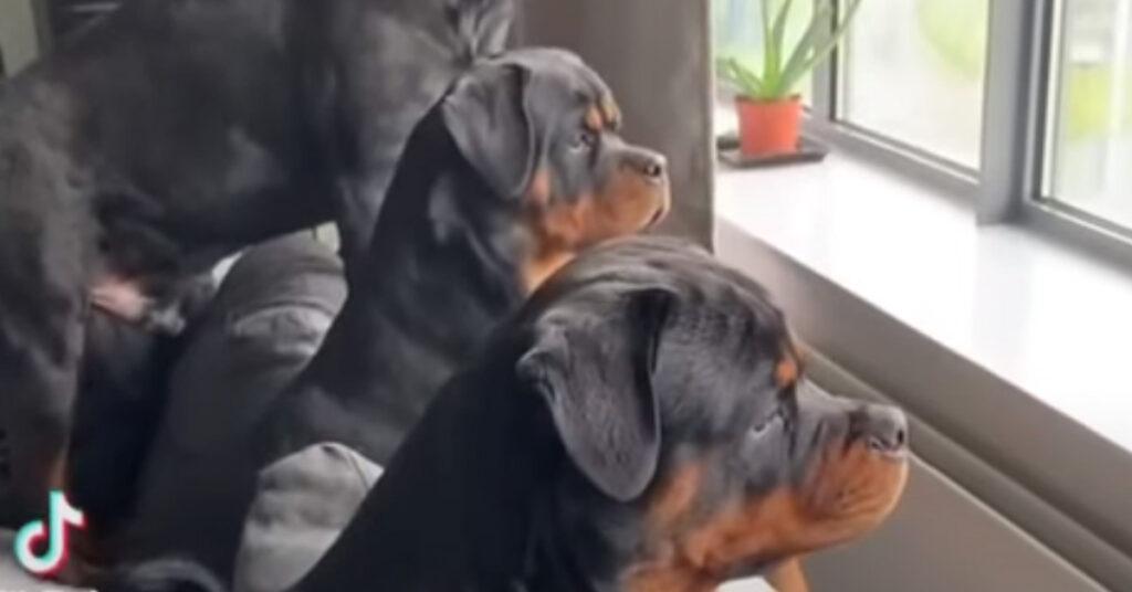 Rottweiler che osservano