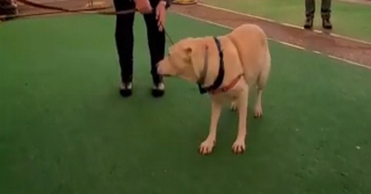 Sadie, la Labrador che ha riabbracciato la sua mamma umana, un militare in missione (VIDEO)