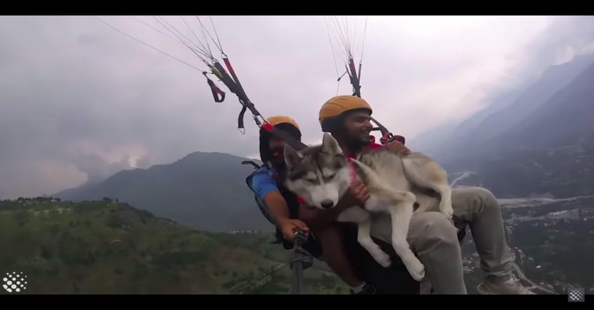 Husky coraggioso in parapendio con il padrone