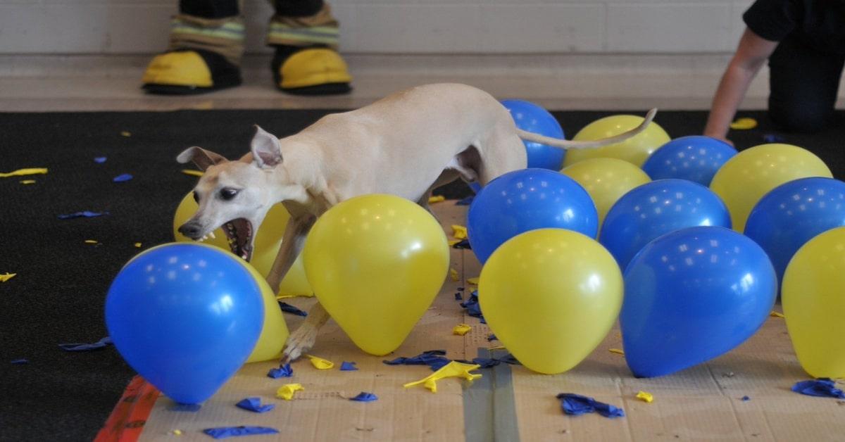 Toby vince il Guinness dei palloncini rotti