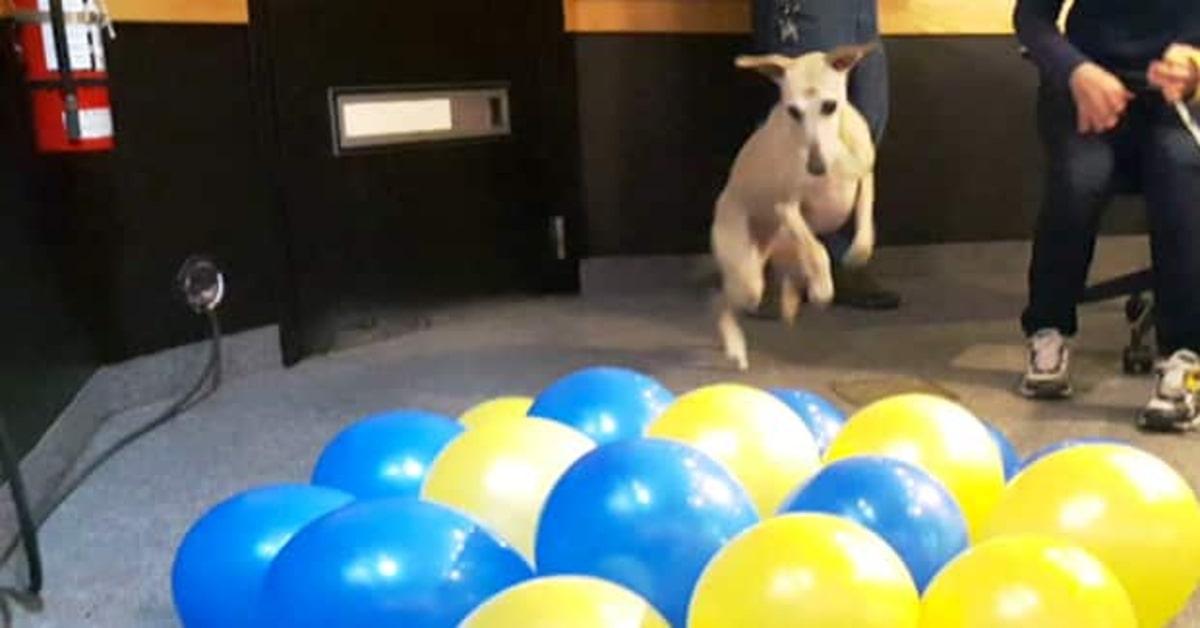 Toby mentre distrugge i palloncini