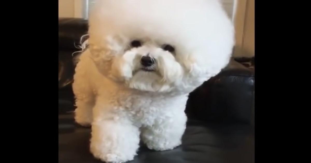 Tori cagnolina testa afro