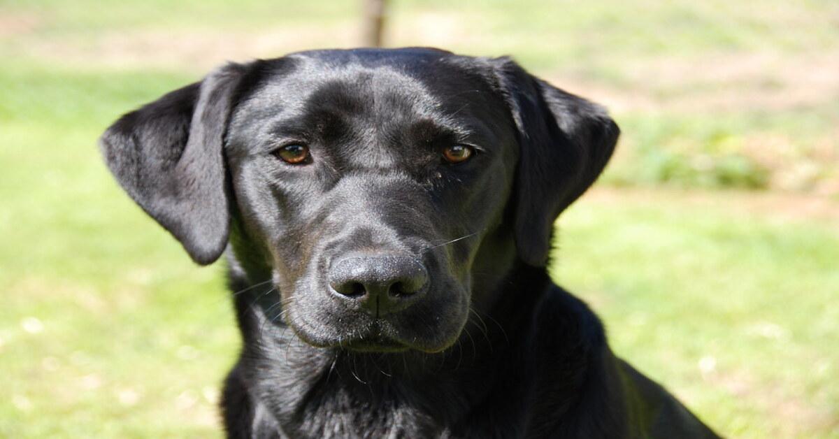 Tucker, il cagnolino che voleva guidare le mucche (VIDEO)
