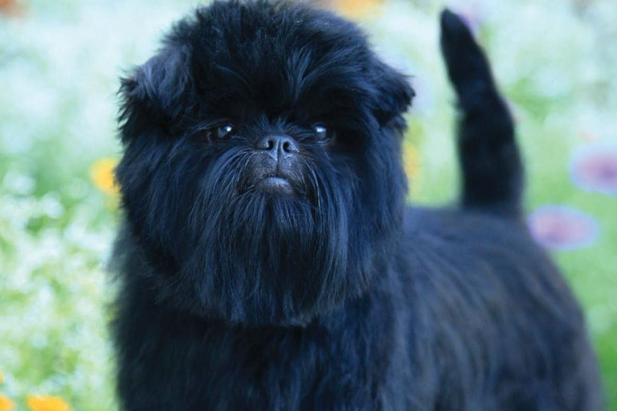 cane con il pelo nero e lungo sul muso