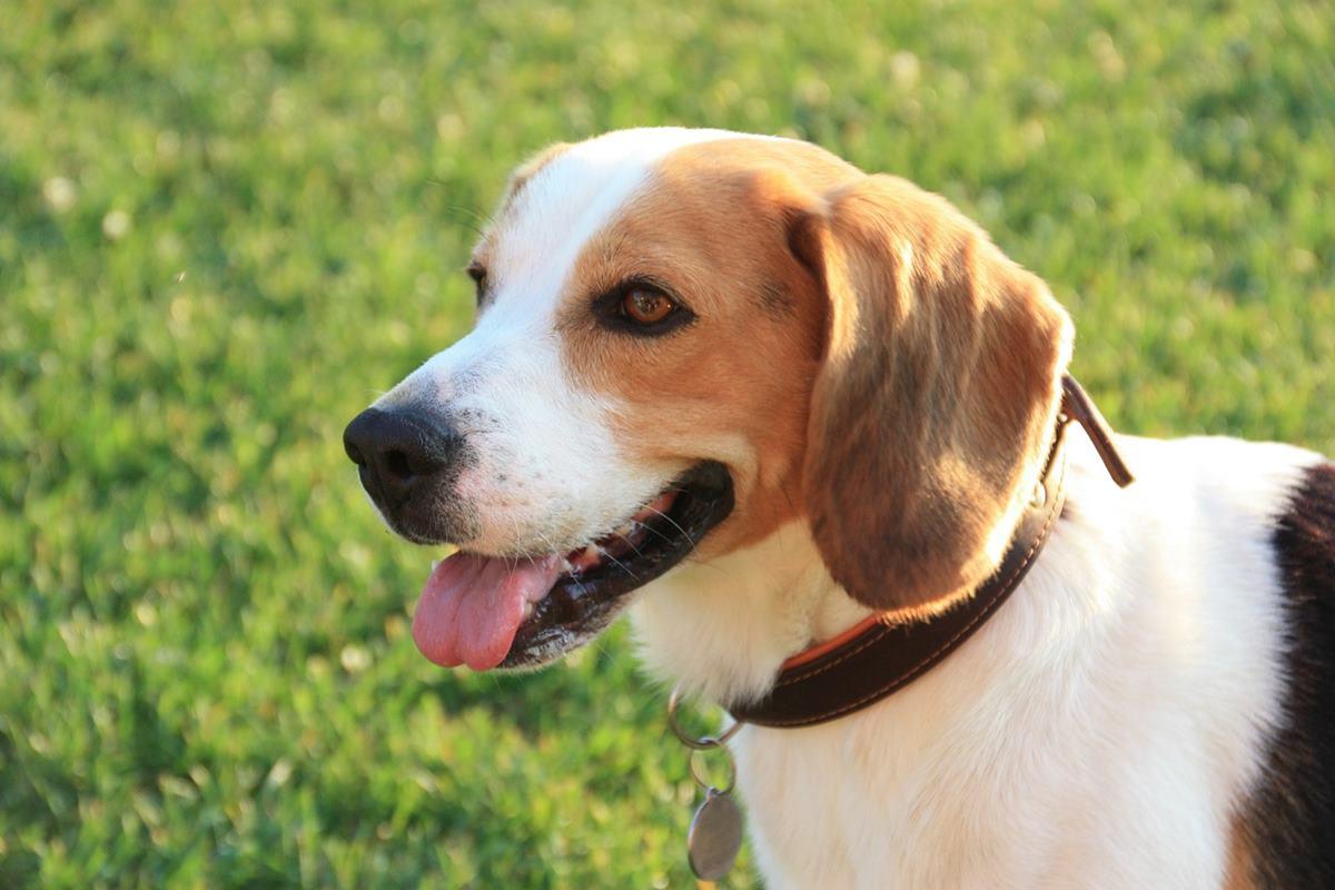 muso del beagle