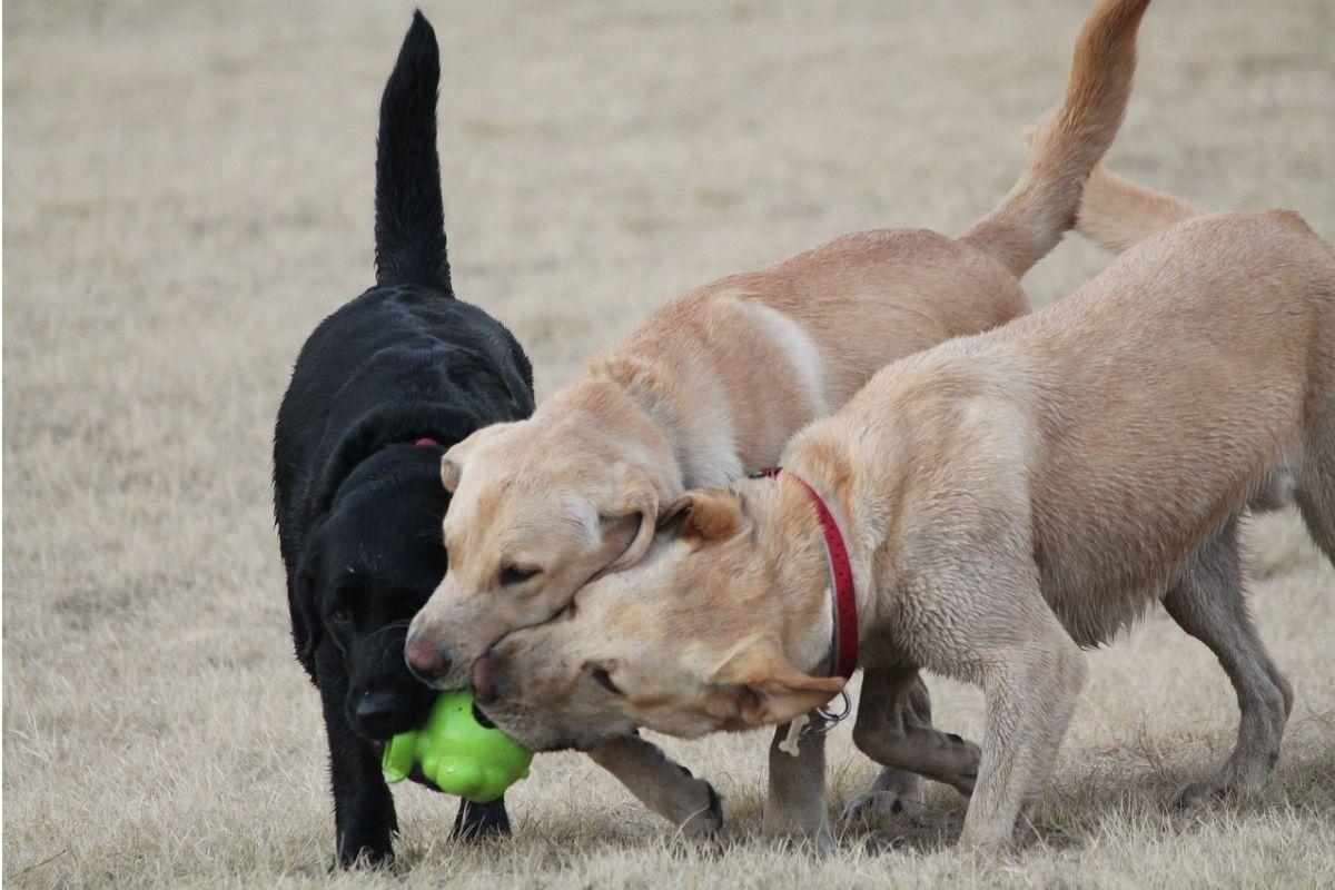 tre cani si contendono un unico gioco