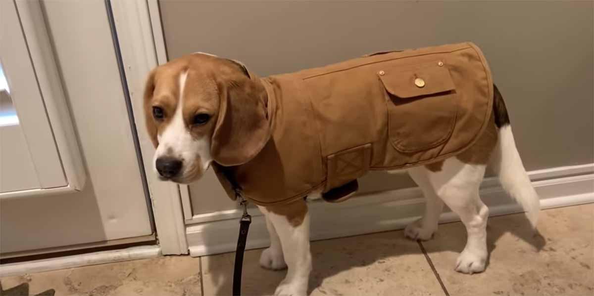 beagle pronto a uscire