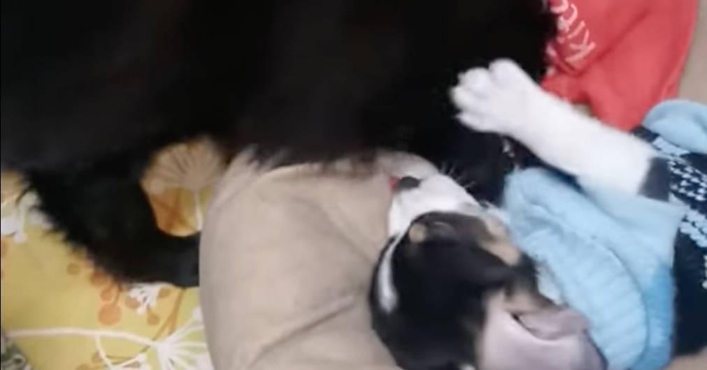 pomerania e beagle