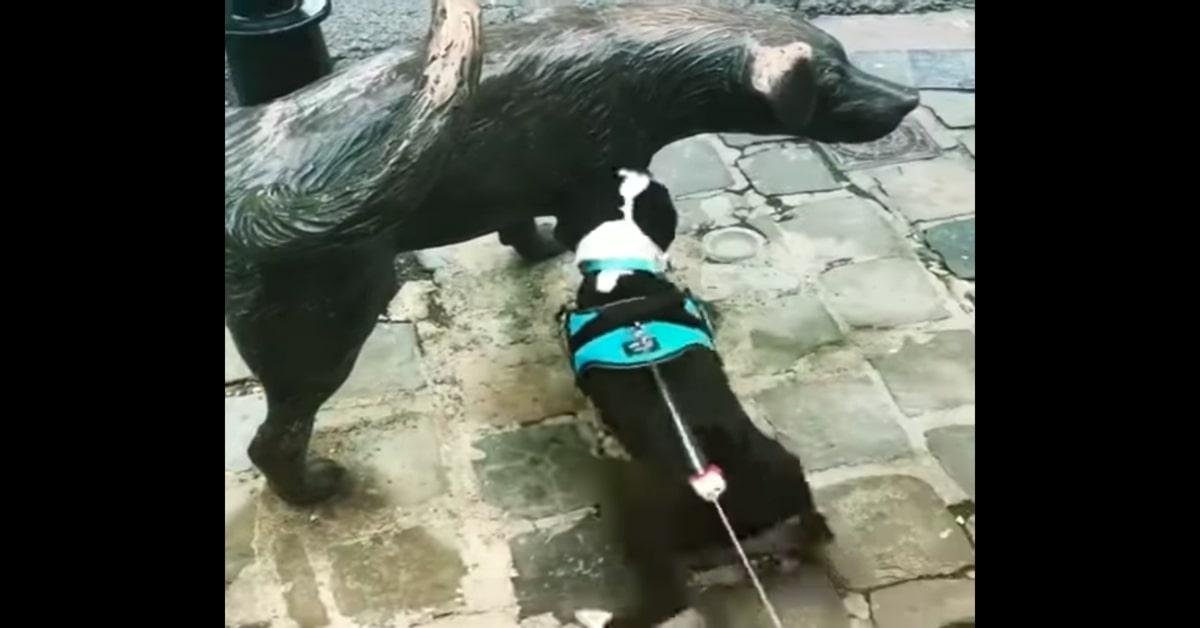 Boston Terrier guarda statua