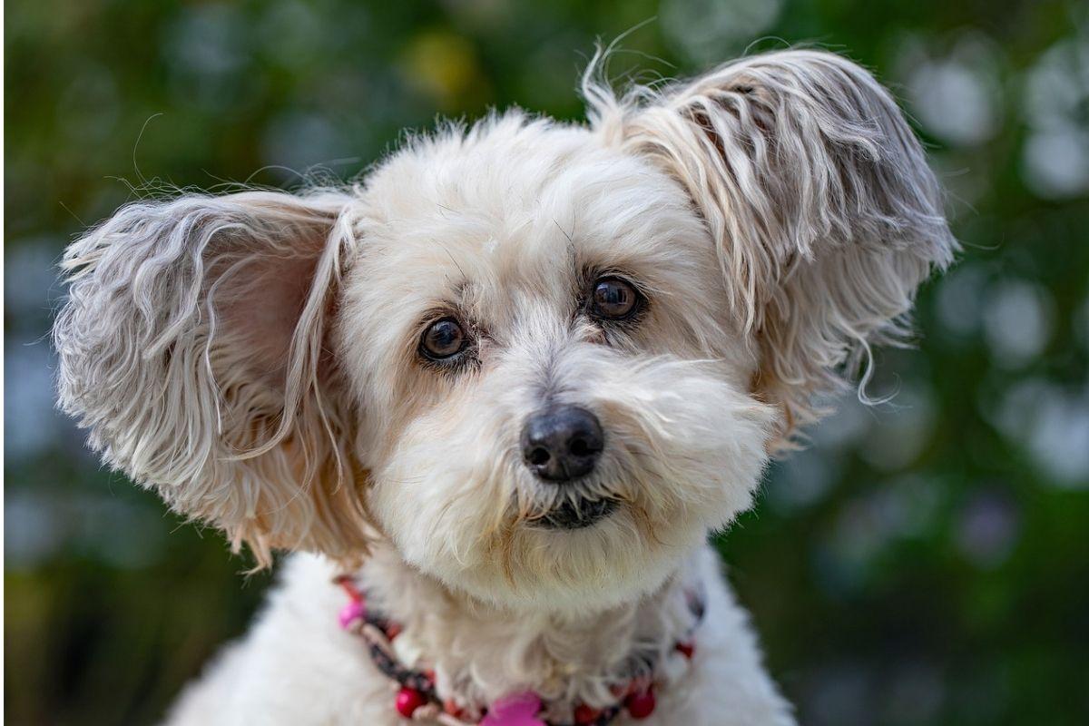 cane bianco con collare colorato