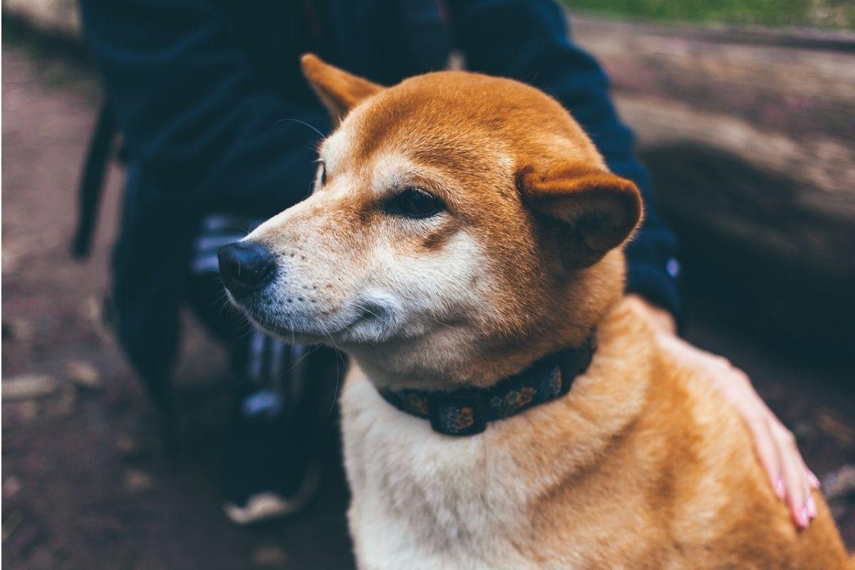 umano carezza un cane color miele