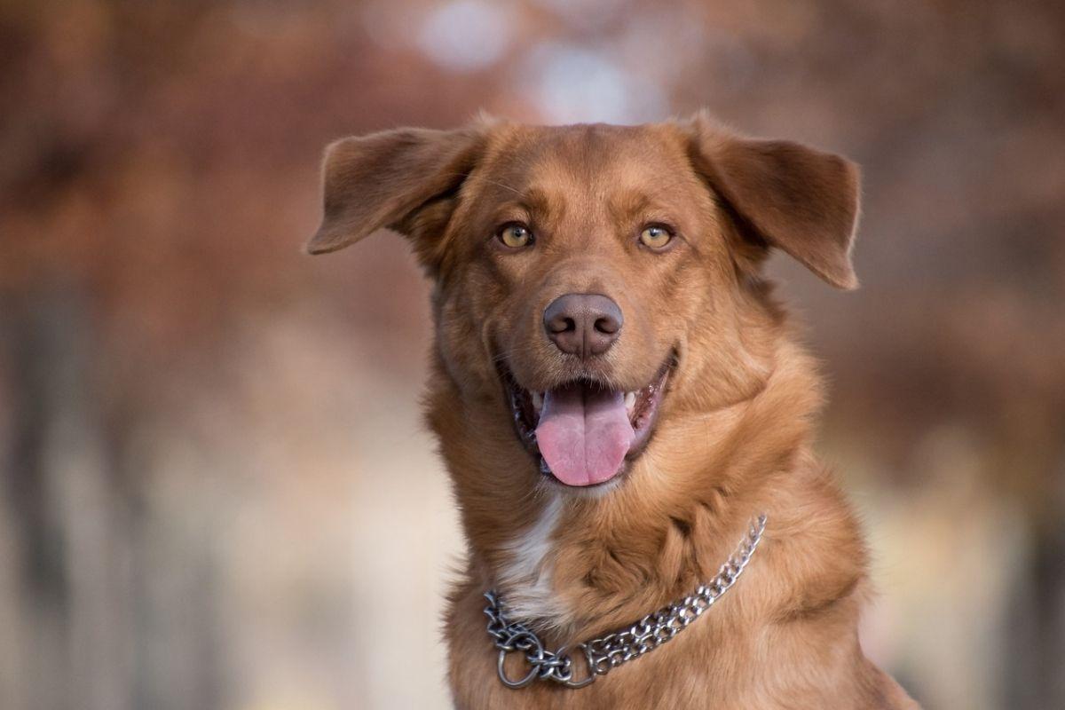 cane con pelliccia marrone e lingua penzolante