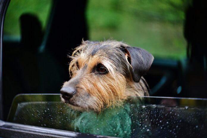cane triste guarda fuori