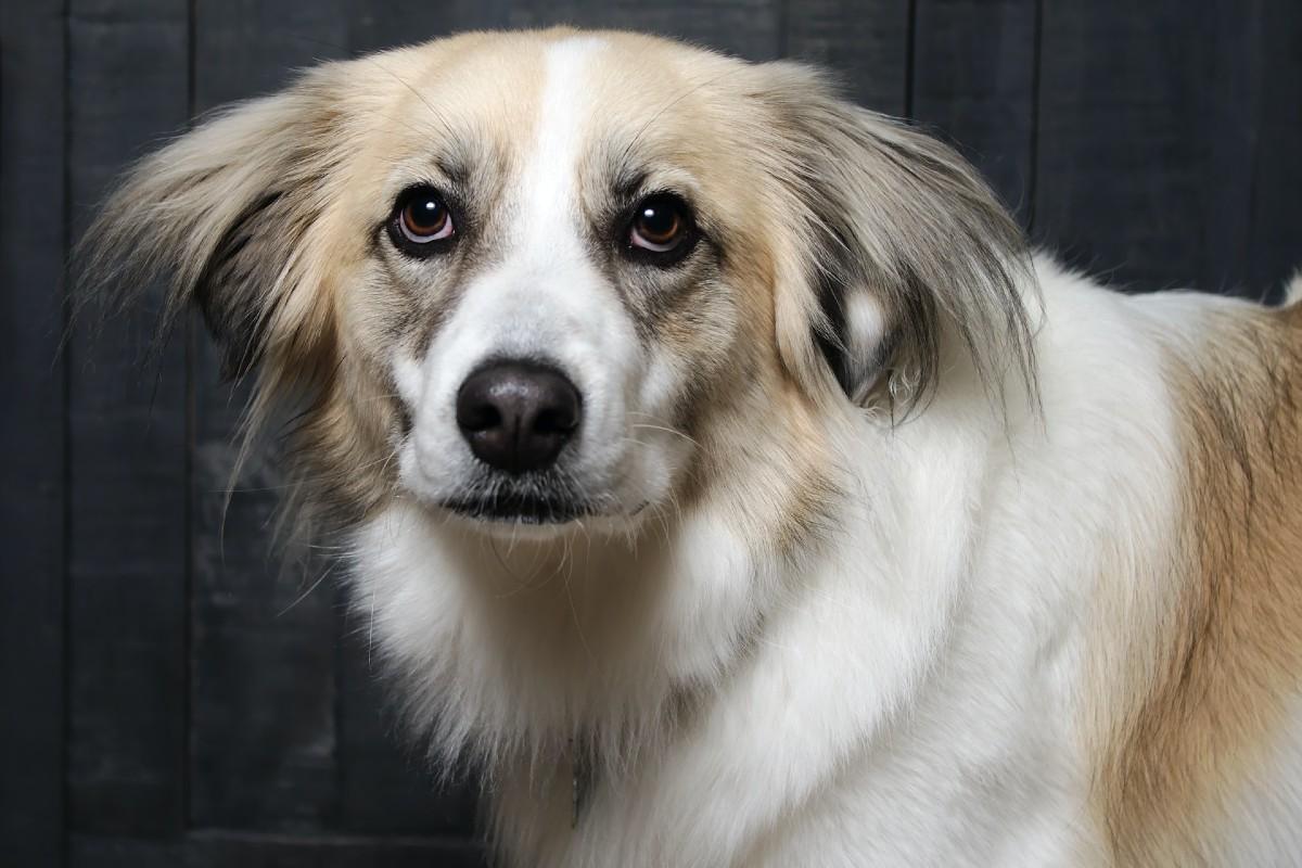 cane diffidente trema