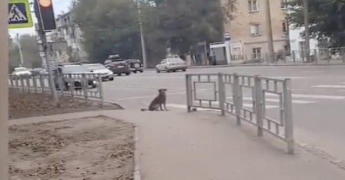cane aspetta che luci divenga verde