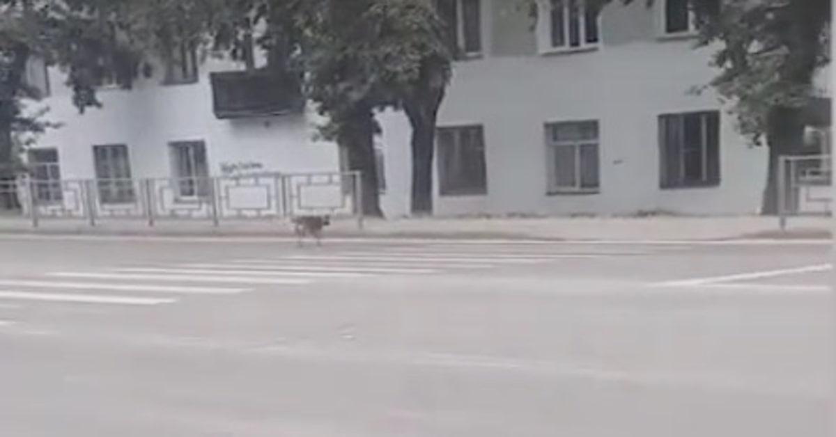 Un cucciolo di cane aspetta che il semaforo diventi verde per attraversare la strada (VIDEO)