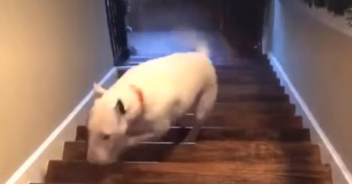Un cucciolo di Bull Terrier inglese cade dalle scale ma per fortuna non si fa del male (VIDEO)