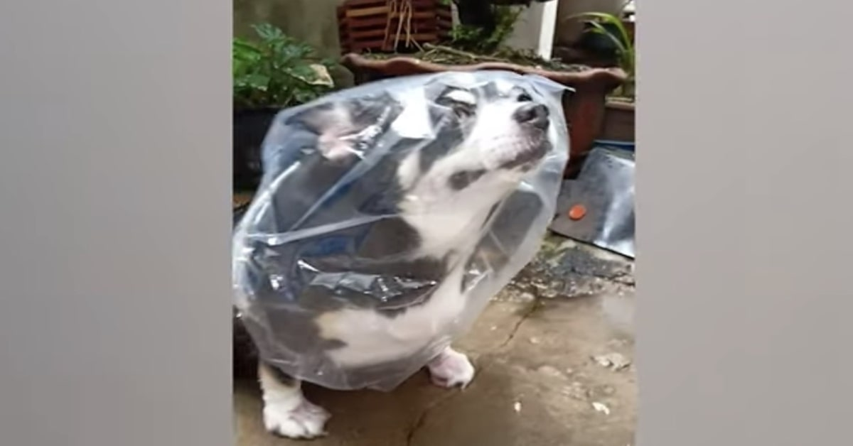 cane chihuahua con impermeabile fatto con una busta di plastica