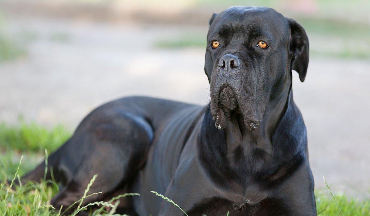 cane corso imponente