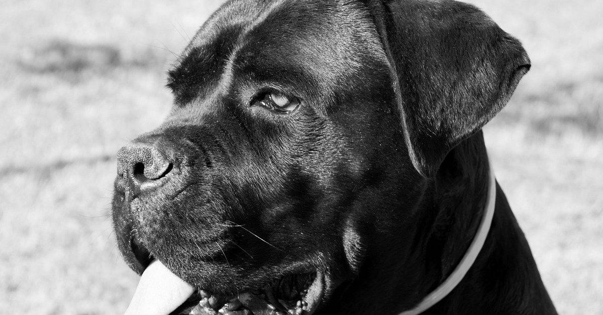 cane corso lingua di fuori