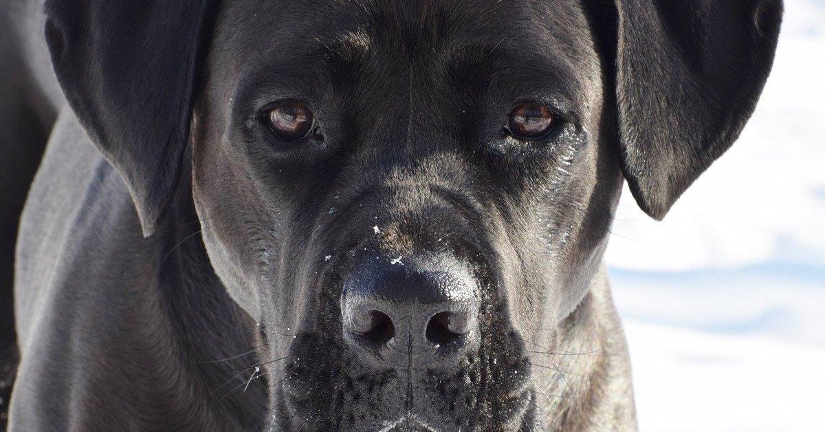 cane corso sguardo dolce