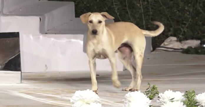 cane randagio entra in passerella