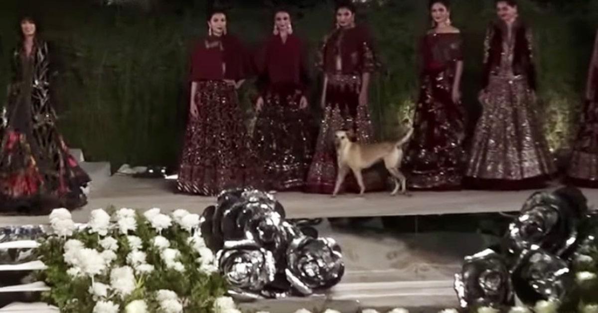 India: un cucciolo di cane randagio sale in passerella durante una sfilata di moda (VIDEO)