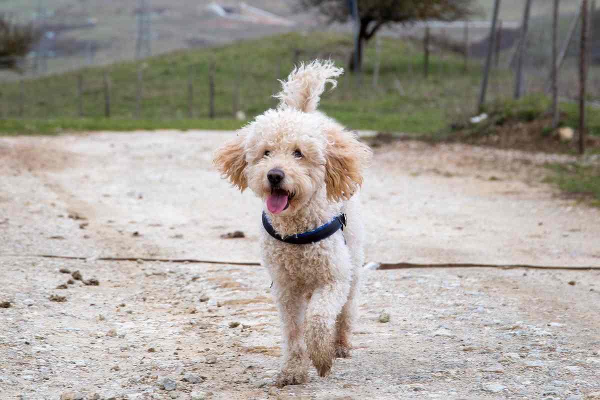 cagnolino con il pelo riccio