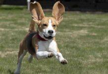 cane con le orecchie molto lunghe