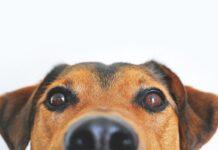 sguardo di cane
