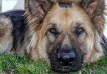 cane lupo italiano razza