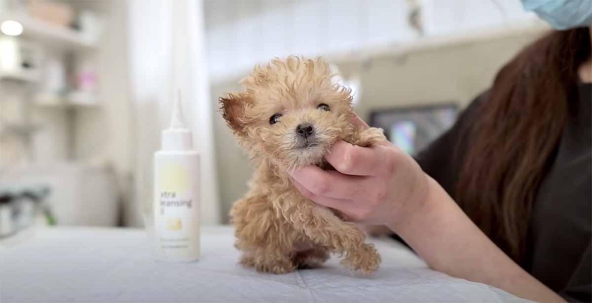 cagnolino molto piccolo toeletta