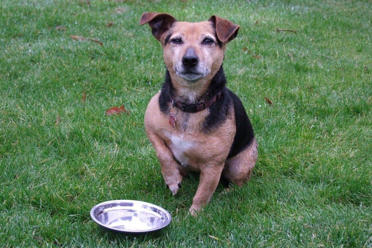 Un cane può mangiare fino a scoppiare o si sa controllare?