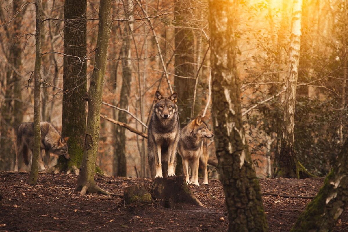 Quale cane può battere un lupo?