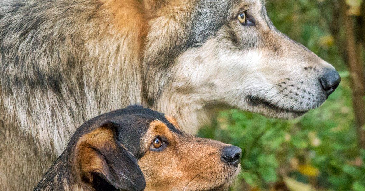 cane e lupo a confronto