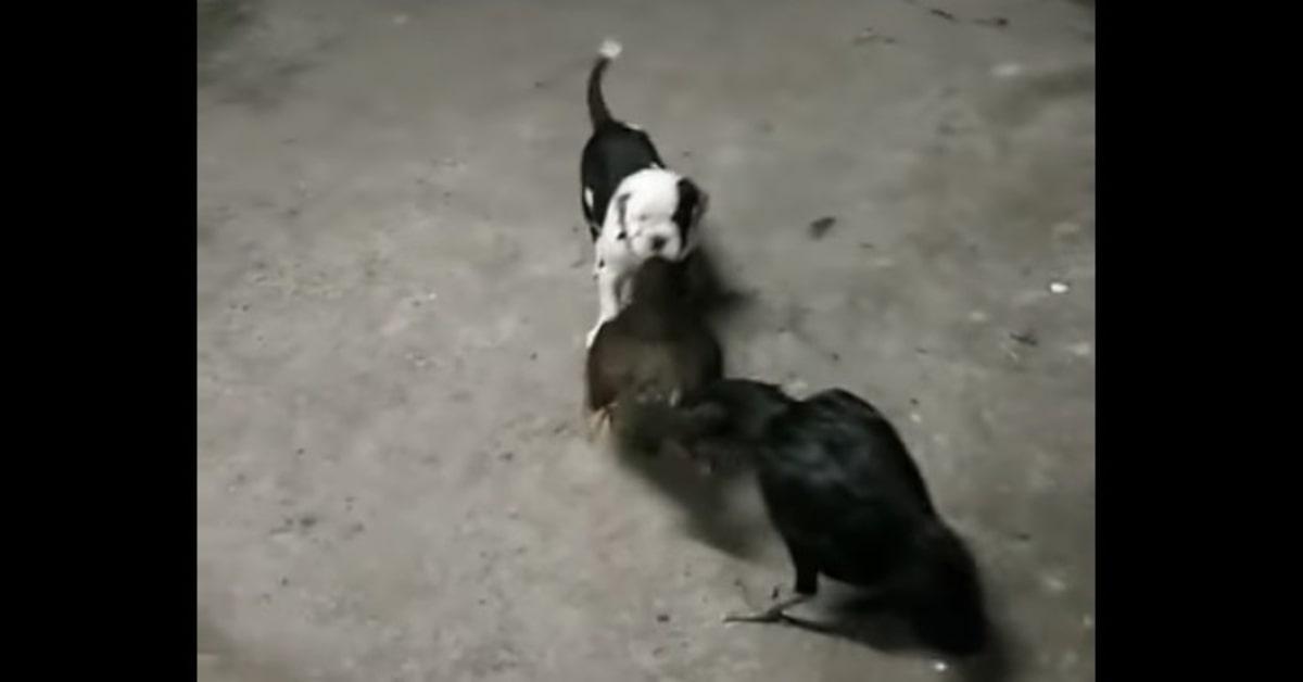 Un cucciolo di cane cerca di separare due galline che litigano (VIDEO)