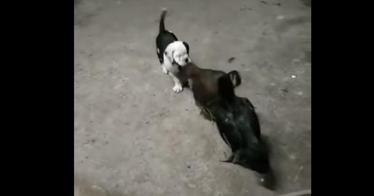 Bulldog non vuole che due galline si accapiglino