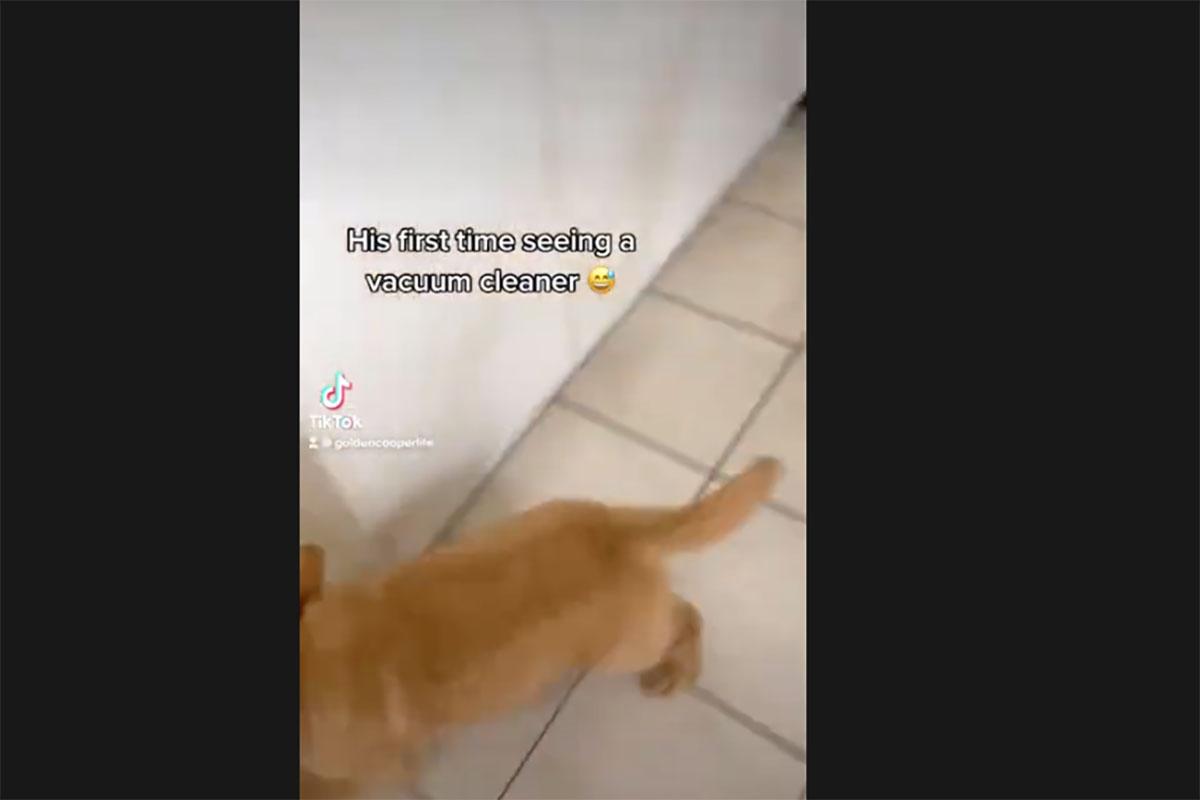 cane golden e aspirapolvere