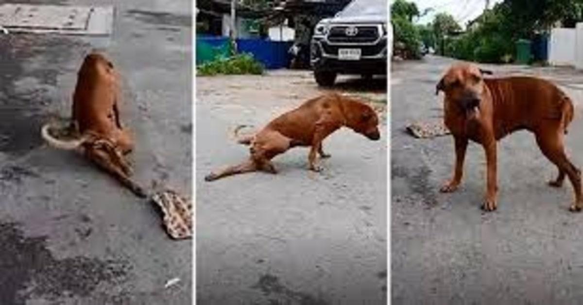 cane fa finta di essere zoppo per impressionare i pasanti