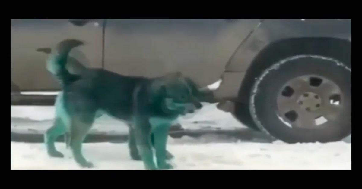 cani verdi giocano