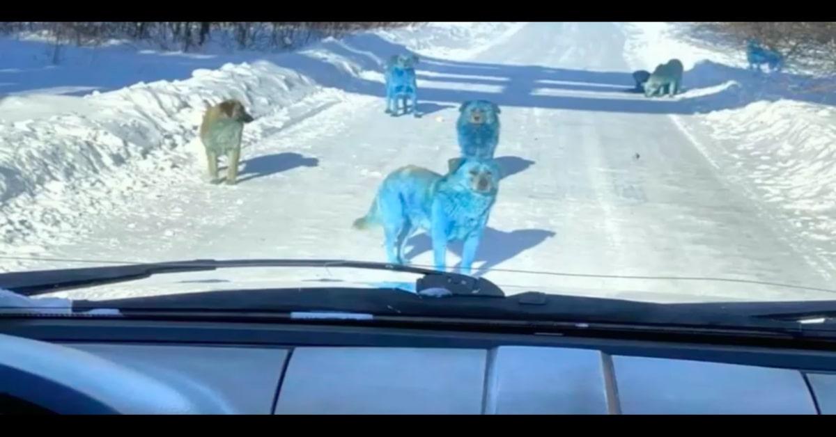 cani azzurri visti dalla macchina