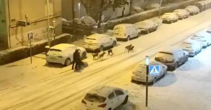Slitta con Husky sulle strade di Madrid