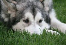 cane triste con muso sul prato