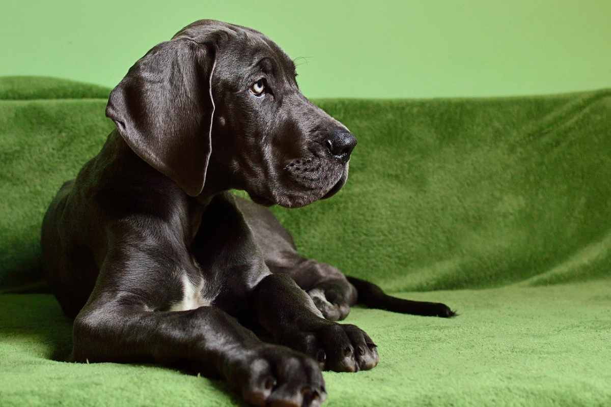 cucciolo di alano nero