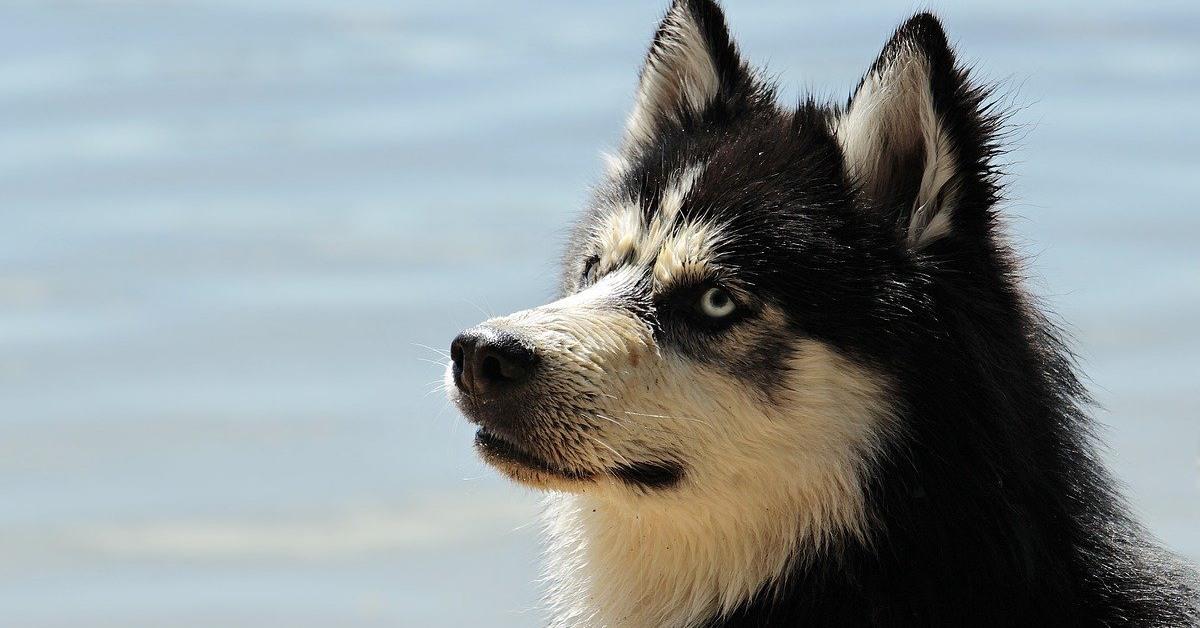 husky di colore bianco e nero