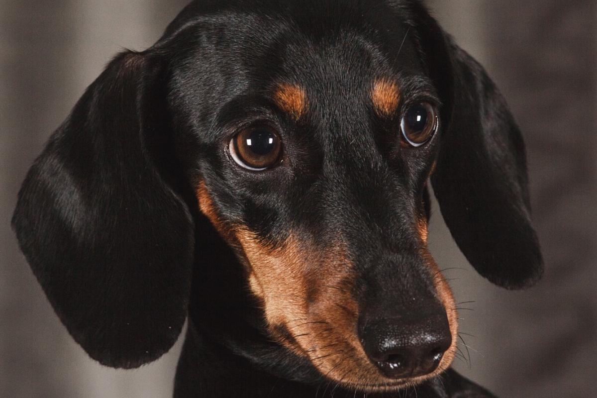 cane bassotto nero