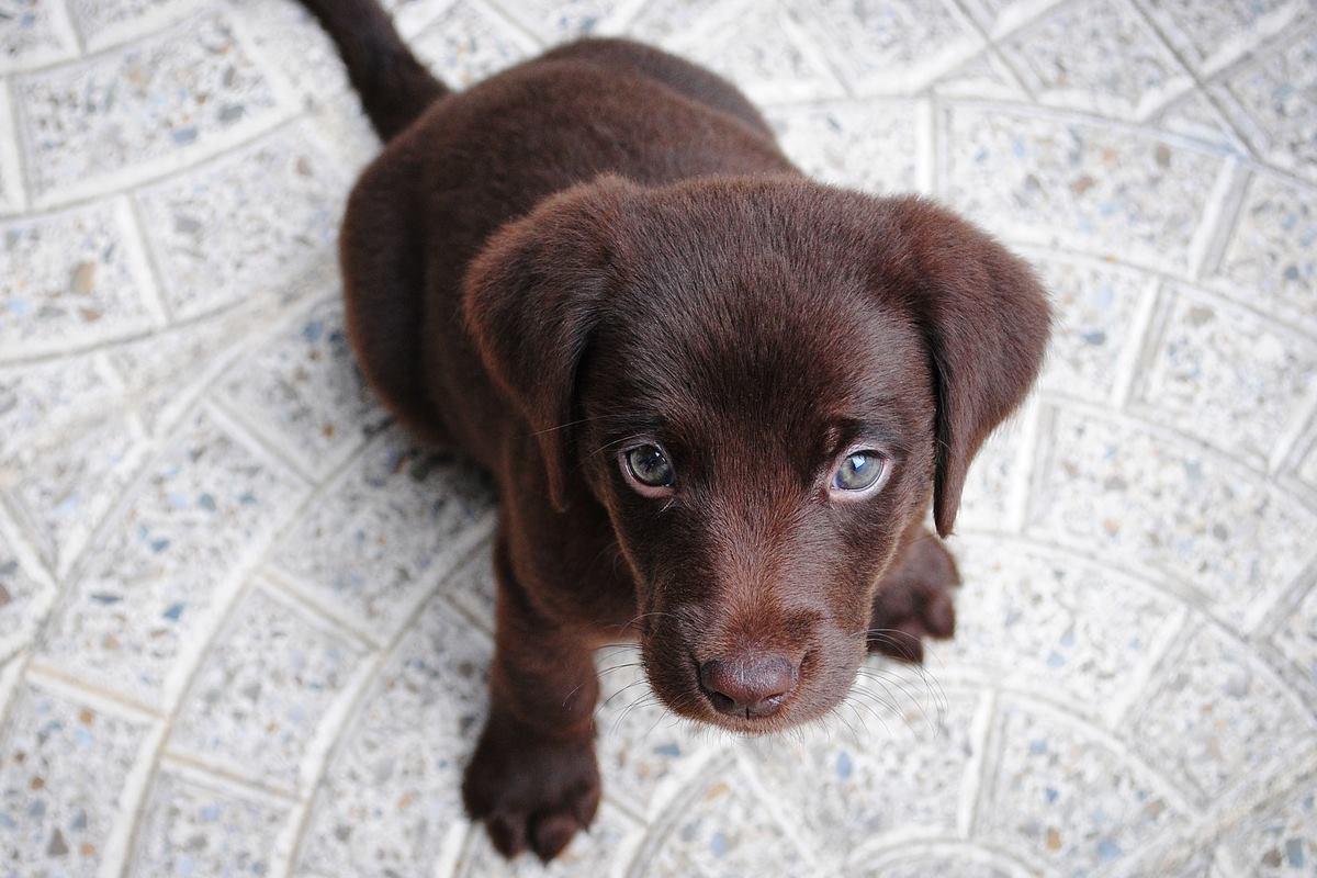 cucciolo marrone di labrador