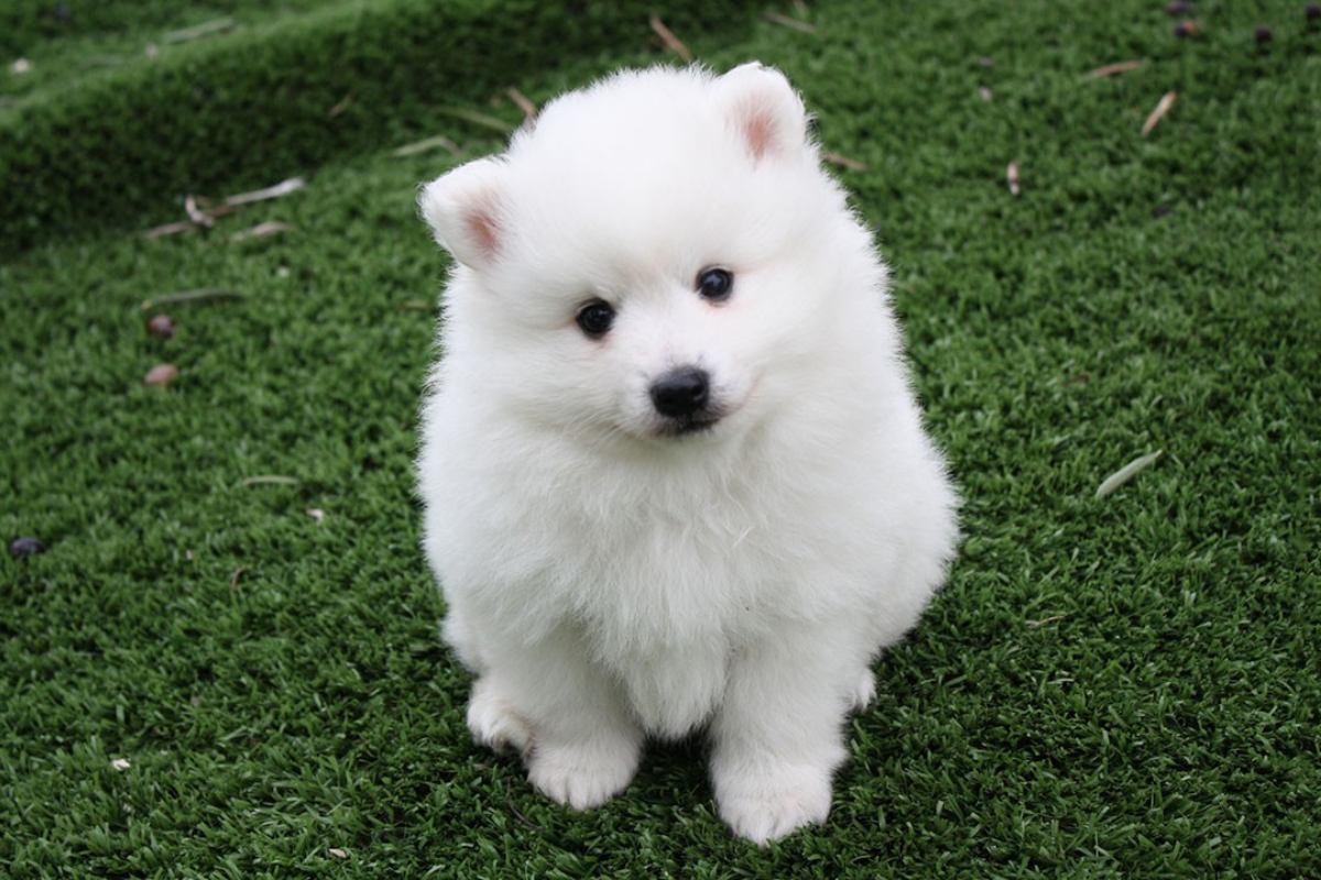 cucciolo piccolo e bianco