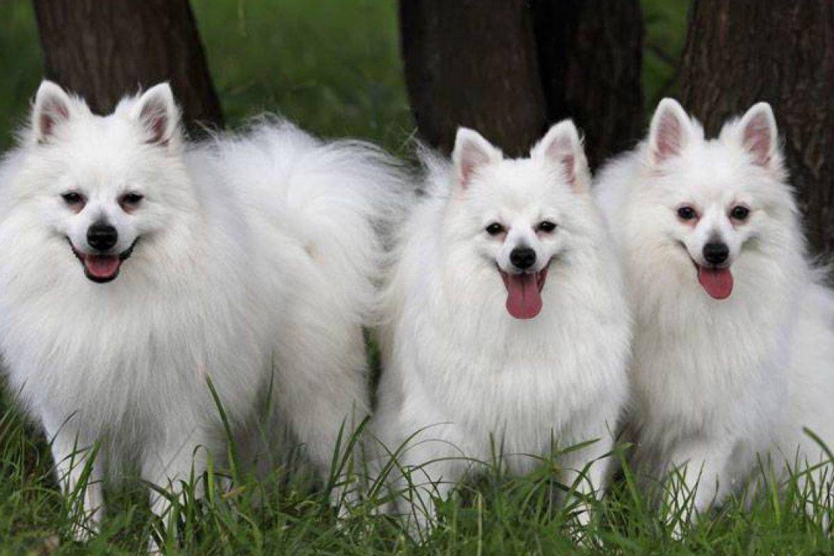cani bianchi a pelo lungo