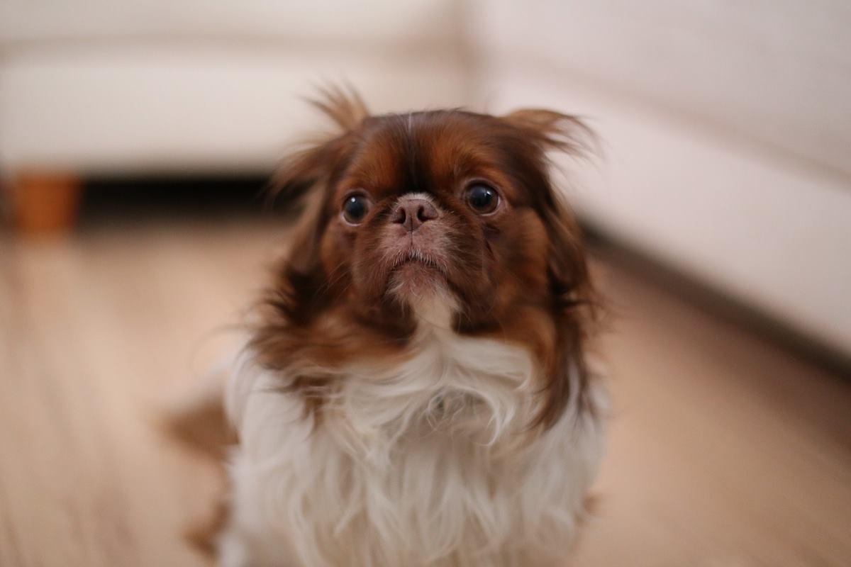 cagnolino con le orecchie abbassate